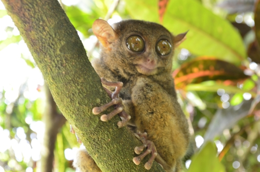 The tarsiers of Bohol remained at peace after the earthquake