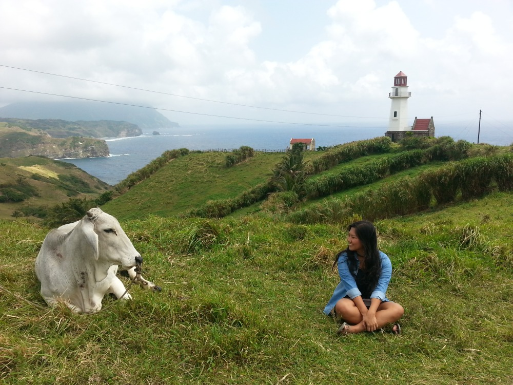 Cows are a common sight in the hills of Batanes. They roam freely on the gently rolling terrains where they feed on forage grass.